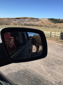 This is the bison licking our car. If you would like a better picture, you can get out of your car and take it...